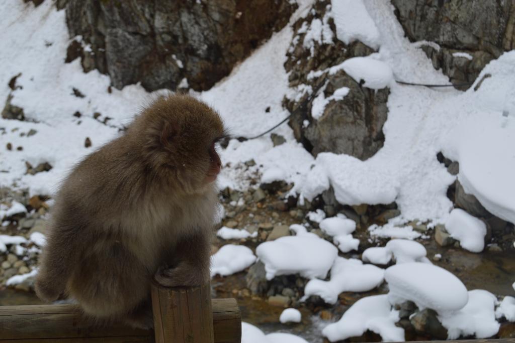 Macaque at Jigokudani, Nagano